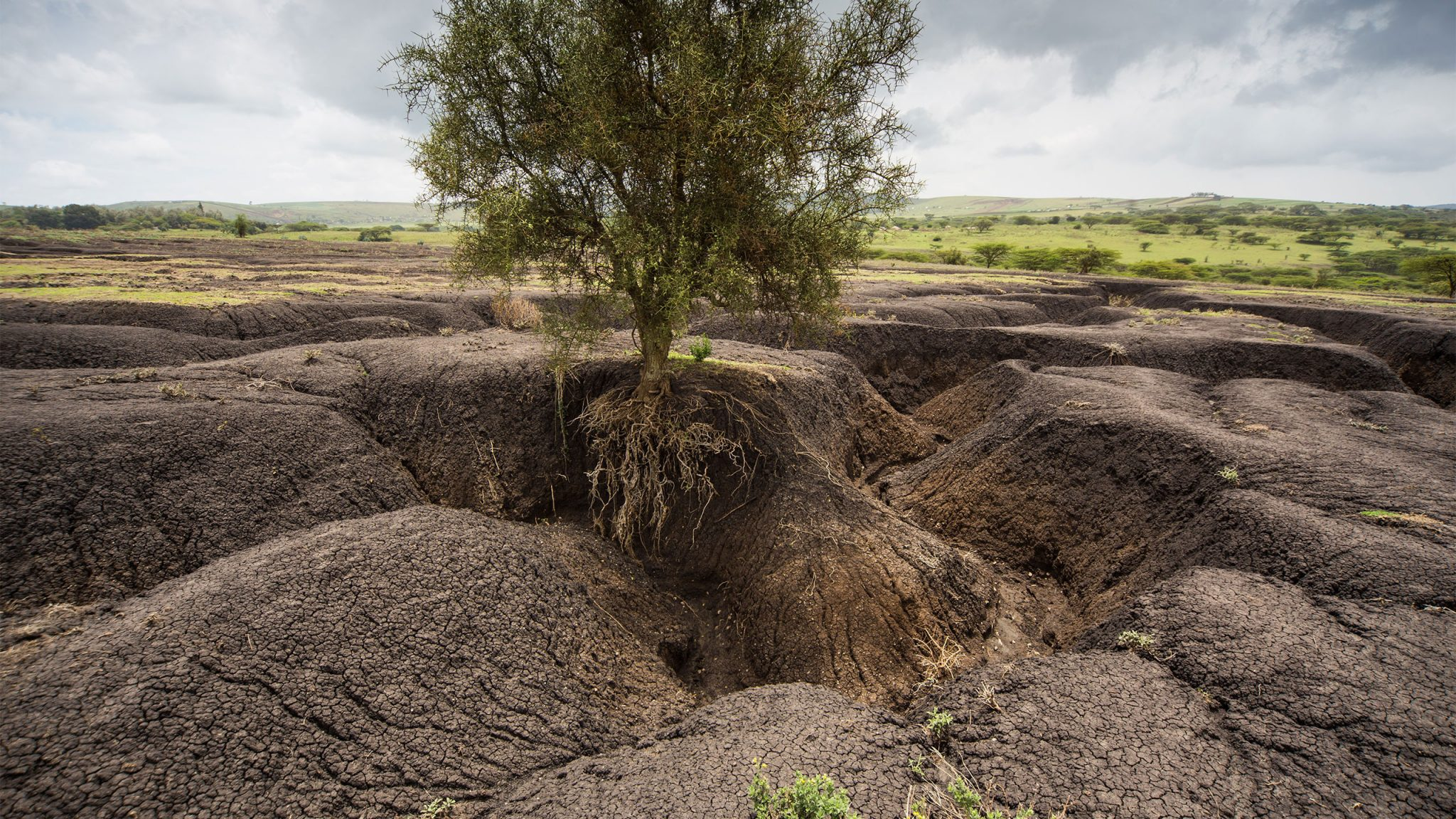 Exposed tree roots left hanging over gullies formed by extreme rainfall. Soil erosion impacts on communities at local and global levels.