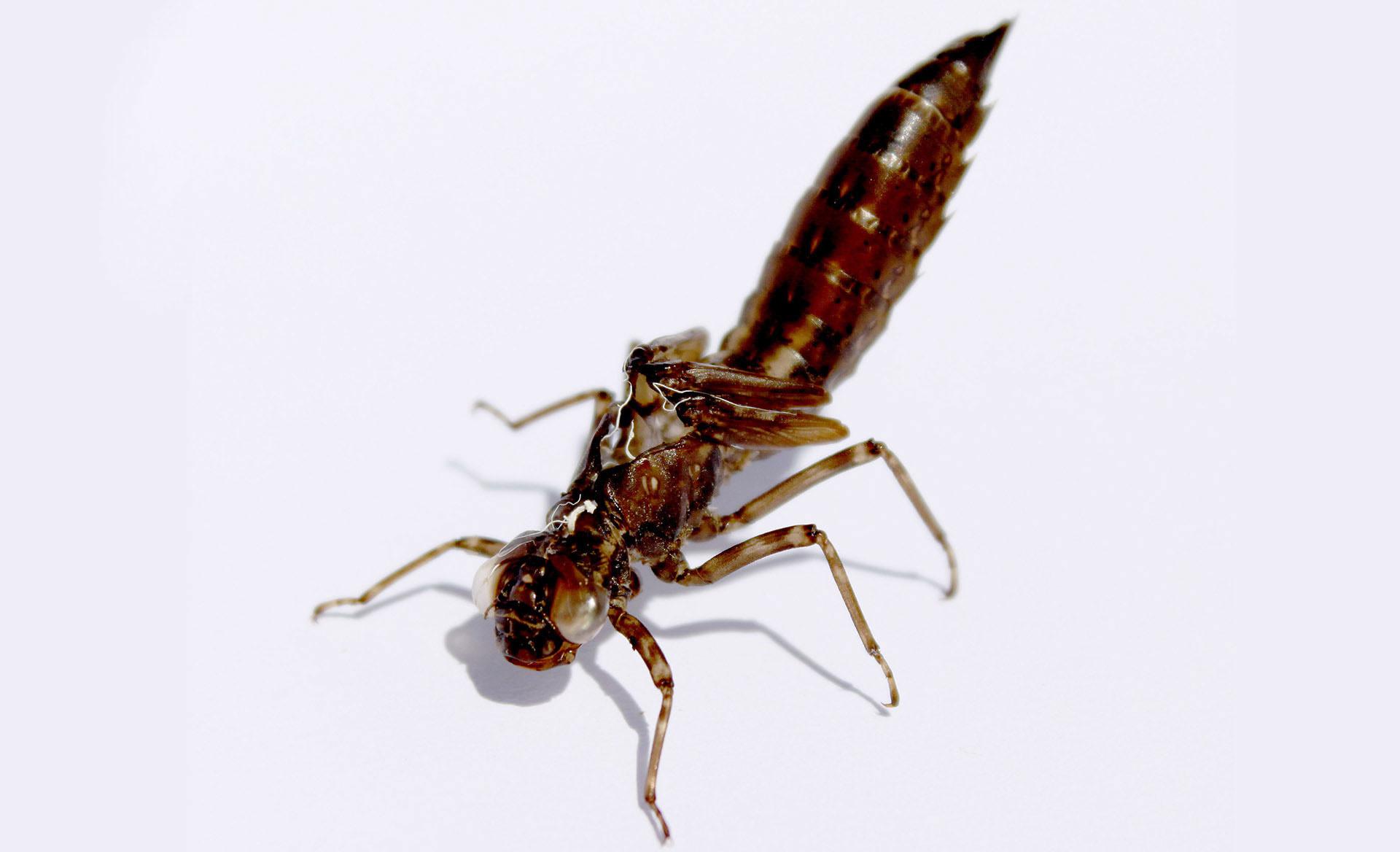 Dragonfly Larvae after it has shed it exoskeleton