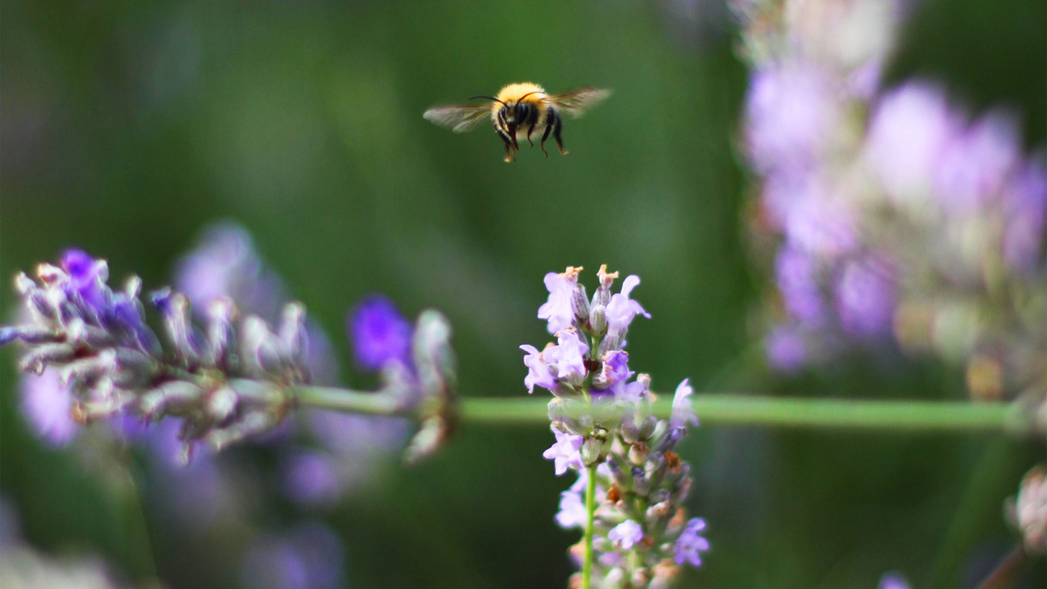 Bumble Bee hovering over Lavender