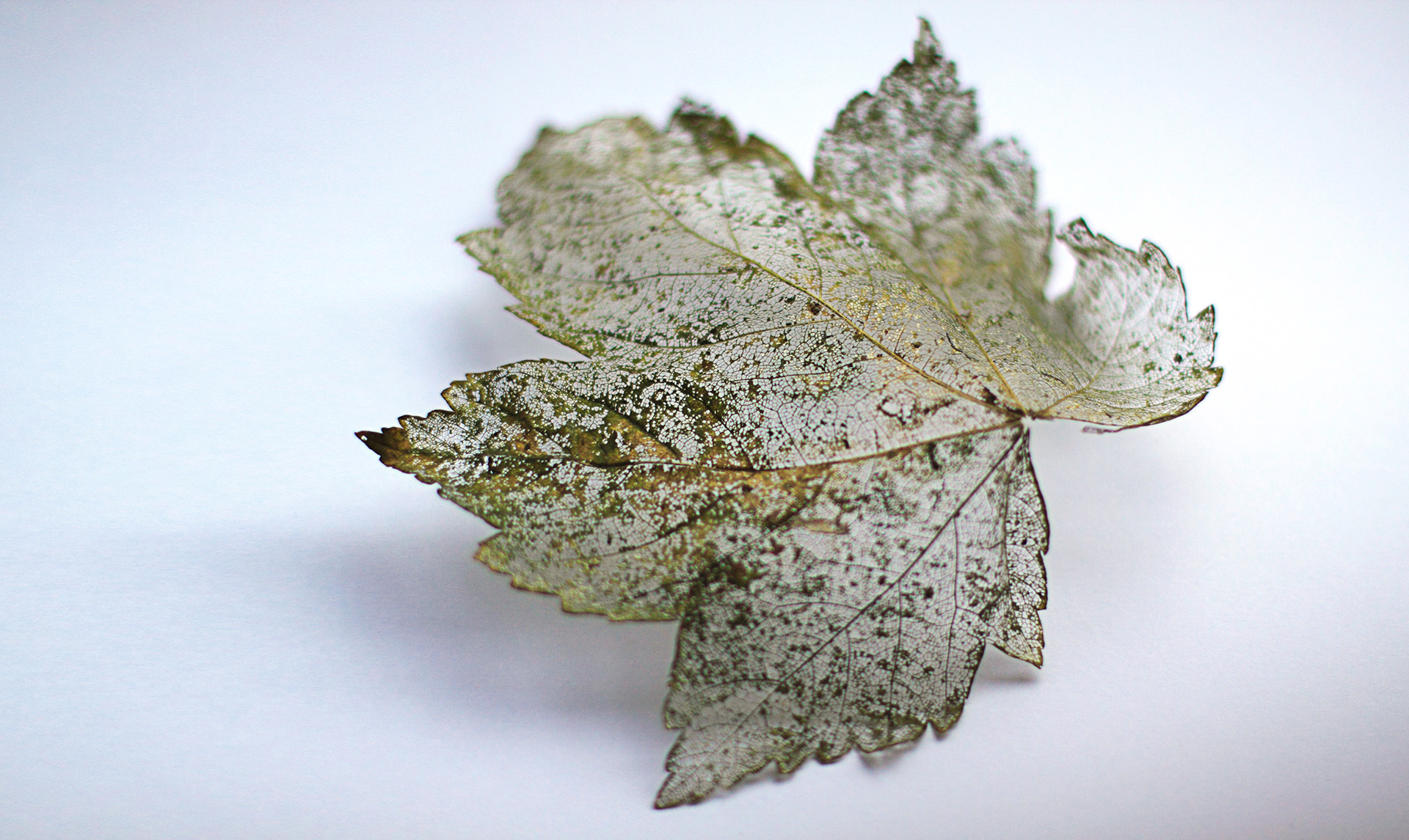 Following a year outside in the English winter and, this sycamore leaf as decayed down to its structure. Leaving a filigree, lace finish that shines in the golden light of the evening Spring sunshine.