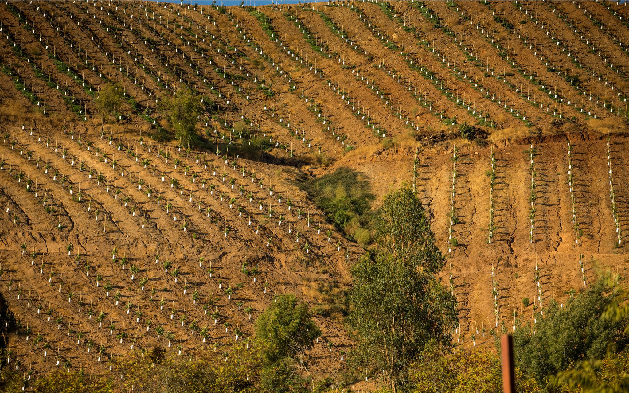 Soil erosion between the vines on the vineyards in Rancagua Basin, Chile. Carey Marks Photography