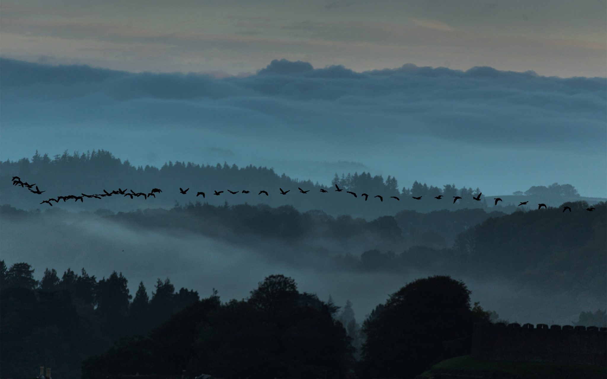 Geese arriving in our town (Totnes, Devon) in the UK from the Arctic tundra this morning. Carey Marls photography